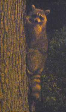 New-York: Petit animal grimpant dans un arbre de Central Park (la nuit)